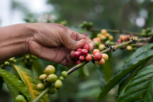 balitranquilitytours-coffee plantation